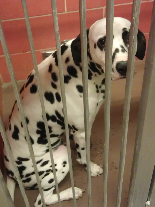 dalmatian for adoption